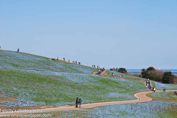Blue fields of Nemophilia at Hitachi Seaside Park