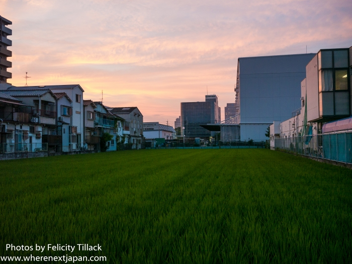Inner city rice field